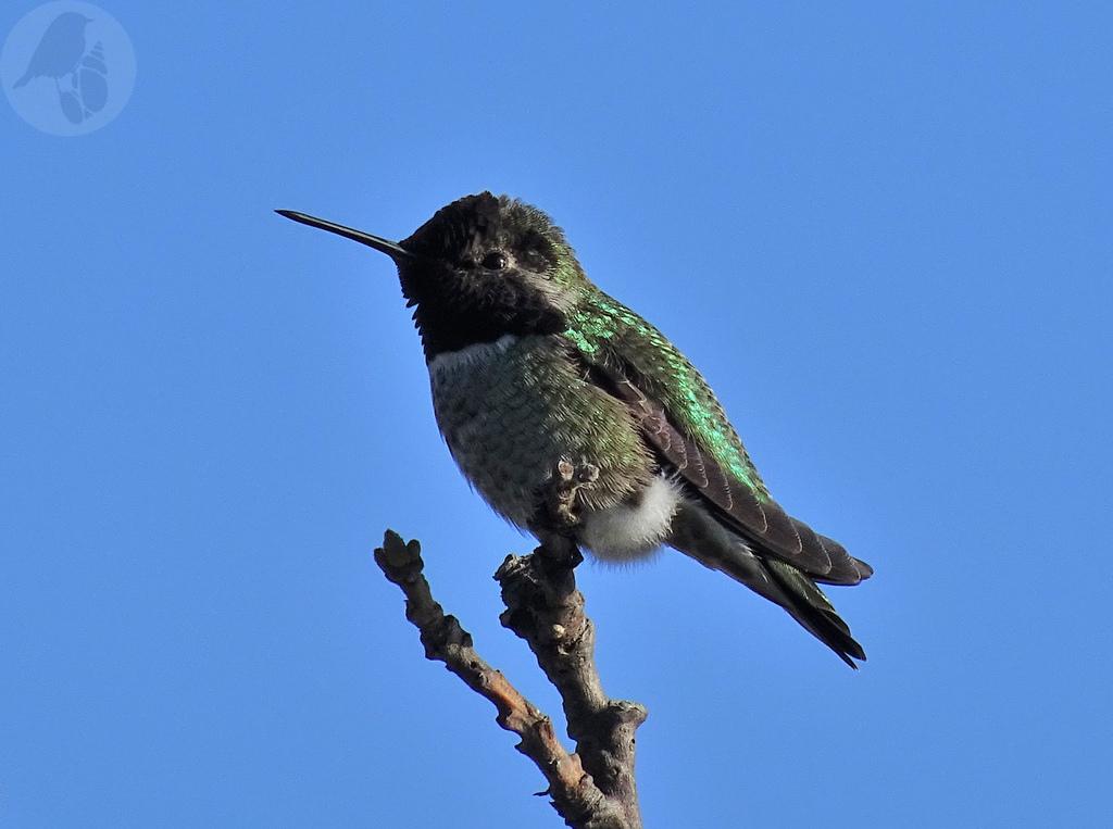 annashummingbird