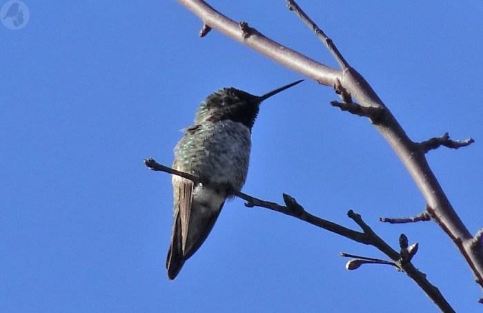 annashummingbird3