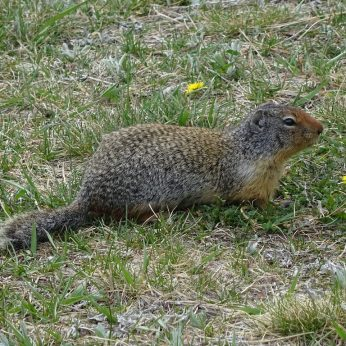 Columbian Ground Squirrel, Banff NP, AB.