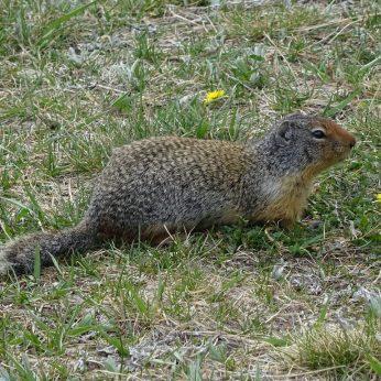 Columbian Ground Squirrel, Banff NP, AB.
