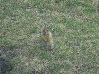 Columbian Ground Squirrel standing up attentively to warn others of potential threats (probably humans) Banff NP, AB.