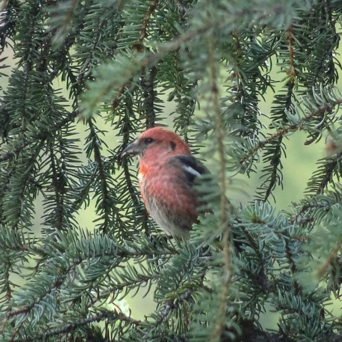 Among many other birds, I was pleased to spy a White-Winged Crossbill in the trees, a new bird and first sighting for me.