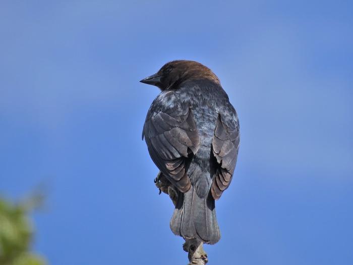 brownheadedcowbird