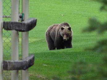 grizzlybear4