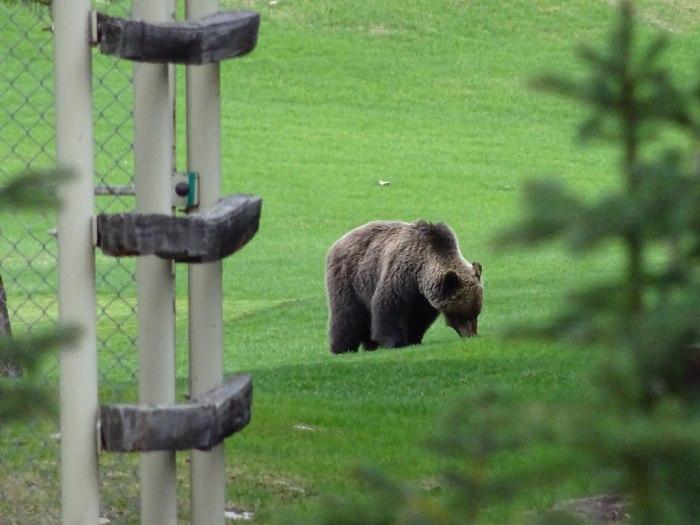 grizzlybear5