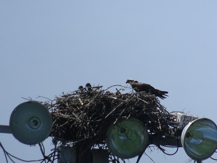 ospreyfamily2
