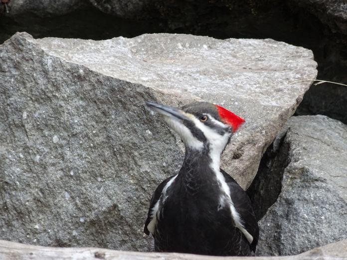 pileatedwoodpecker3