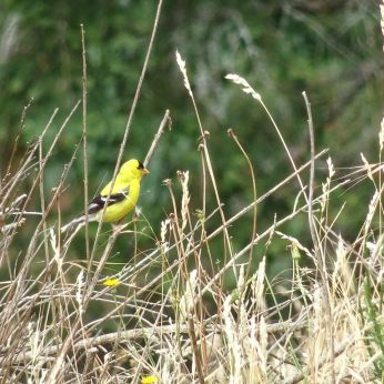 American Goldfinch