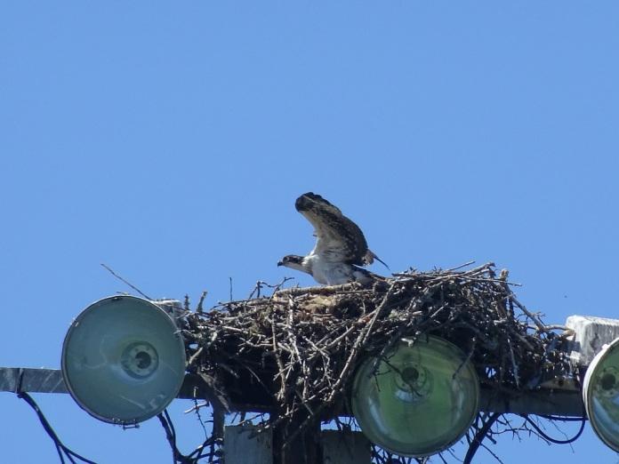 osprey3