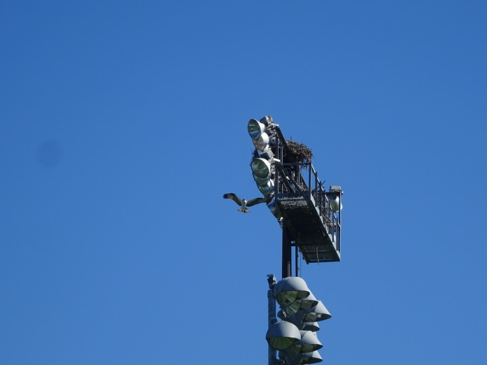 osprey6