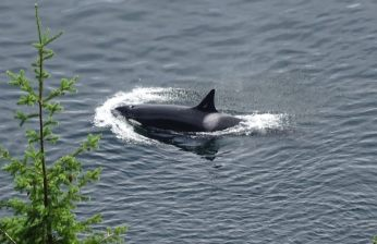 orcas4