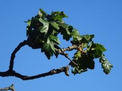 garryoak tree