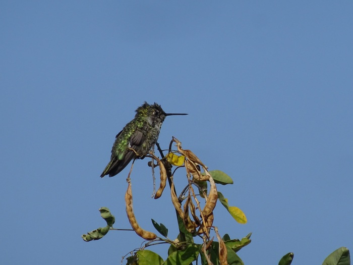 annashummingbird2