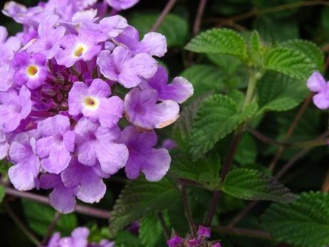 lilacpurpleflower