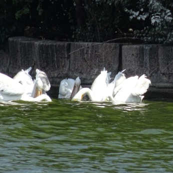 American White Pelicans hunting together