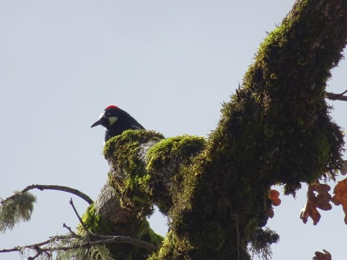 acornwoodpecker
