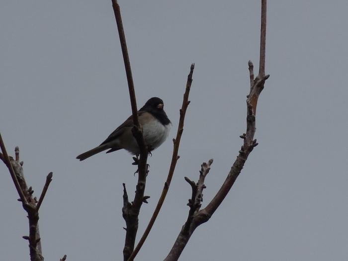 darkeyedjunco