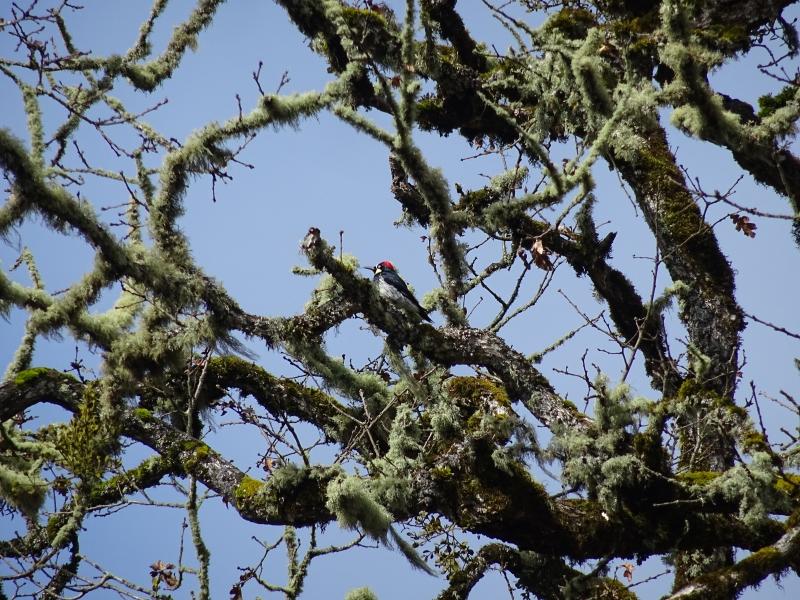 acornwoodpecker1