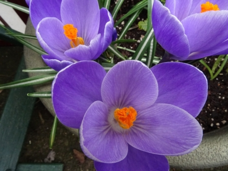 Crocuses blooming in my garden