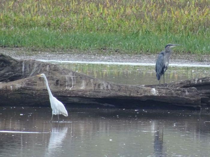 egret_heron