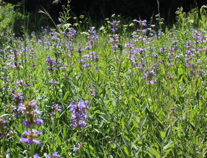 craterlake-flowers2
