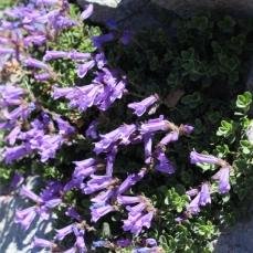 craterlake-flowers3